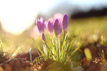 Close-up Of Purple Crocus Growing In Field
