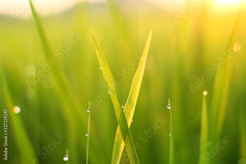green grass with dew drops #337219247