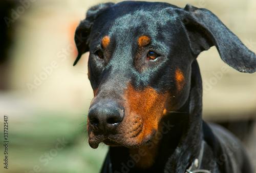 Papel de parede Doberman dog head with ears. Portrait of a left side view.