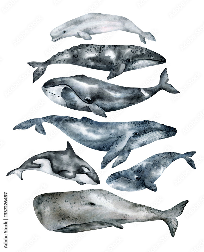 Fototapeta Watercolor whale illustration isolated on white background. Hand-painted realistic underwater animal art. Humpback, Grey, Blue, Killer, Bowhead, Beluga, Cachalot whales for prints, poster, cards.