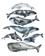Watercolor whale illustration isolated on white background. Hand-painted realistic underwater animal art. Humpback, Grey, Blue, Killer, Bowhead, Beluga, Cachalot whales for prints, poster, cards.