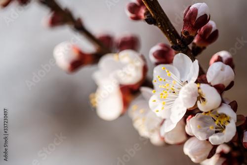 Fototapeta The tree blooms beautifully with white flowers in spring obraz na płótnie