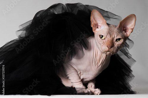 Photo Balerina sphynx with tutu