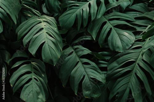 Fotografía Tropical green leaves background