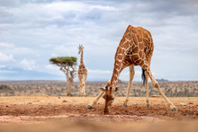 Reticulated Giraffe Drinking In The Wild