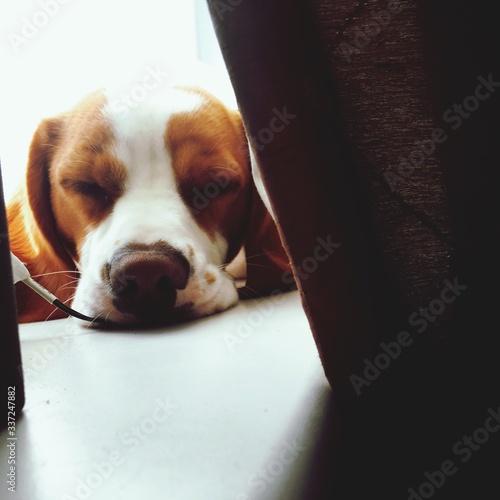 Obraz Close-up Of Dog Sleeping On Floor - fototapety do salonu