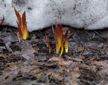 Thawed Young Shoots Of Leaves Just Out Of The Snow