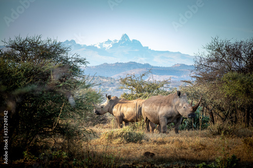 white rhino in the wild, mount kenya in the background Canvas