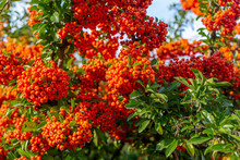 Pyracantha Branches With Bright Orange Ripe Berries. Beautiful Nature Background