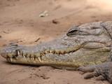 Fototapeta Zwierzęta - krokodyl niebezpieczne piękne zwierzę zdjęcie zrobione w Afryce