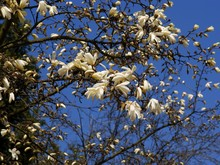 Magnolia Tree With White Flowers At Spring