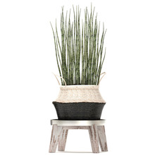 Equisetum Arvense In A Basket Isolated On White Background