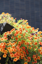 Planter Box In The City Full Of Plants With Orange And Purple Flowers. Office Building In Background. Calibrachoa 'Calitastic Mango' - Orange Mini Petunia