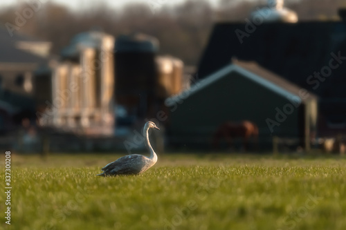 Photo Young mute swan in farmland in backlight of morning sun.