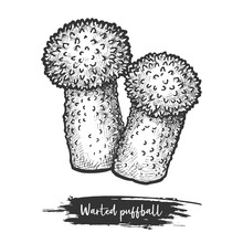 Common Or Warted Puffball Sket...