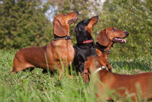 Three Dachshund Dogs Look Up