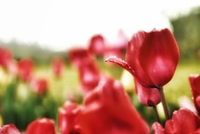 Close-up Of Fresh Red Tulips Blooming Outdoors