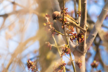 Sparrow On A Blossoming Spring...