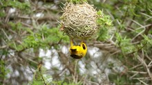 A Male Southern Masked Weaver In A Precarious Position, Clinging Onto Its Nest From Below While Inspecting It For Any Gaps Or Holes.