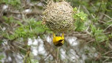 A Colourful Southern Masked Weaver Hanging Upside Down, Clinging To Its Nest That It Meticulously Weaved Using Strands Of Grass And Twigs.