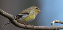 American Goldfinch Perched On ...