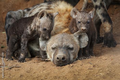 Fotomural hyena cubs