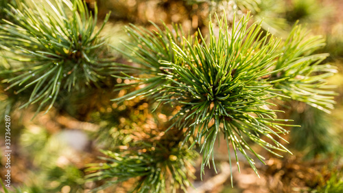 Obraz sosna górska kosodrzewina  - fototapety do salonu