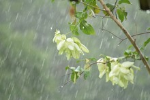 Close-up Of Tree Branch During Rainfall