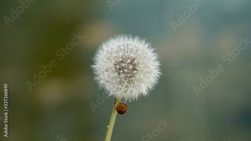 Fototapety, obrazy: Close-up Of Dandelion Against Blurred Background