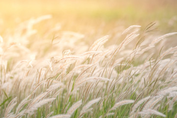 Fototapeta Natura summer background, dry grass flower blowing in the wind, red reed sway in the wind with blue sky background