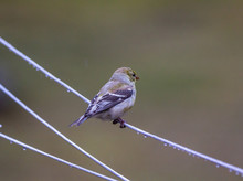 A Female Goldfinch On The Clothesline