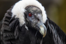 Portrait Of Perched Andean Condor