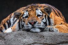 Tiger Resting In The Sun