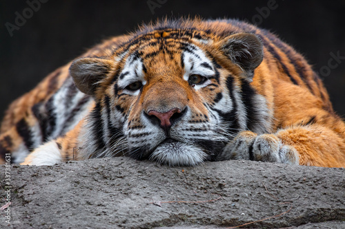 Fotografia tiger resting in the sun