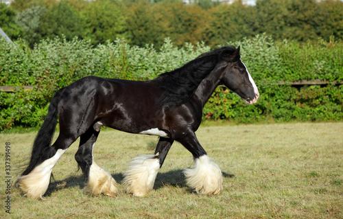 Fototapeta Shire horse. Black stallion galloping on a meadow. obraz