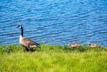 Canada Goose With Goslings At Lakeshore