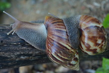 Close-up Of Snails Mating On Tree