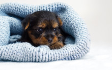 Little Cute Puppy In A Knitted...