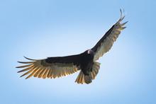 A Lone Turkey Vulture Navigate...