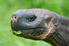 Giant Galapagos Land Turtle, E...