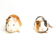 Two Pair Guinea Pig Isolated O...
