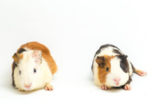 Two Pair Guinea Pig Isolated On White Background
