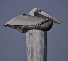 Happy, Fat Pelican Resting On Pier