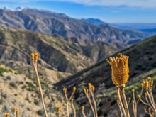 Close Up Of Dried Pods From Matilija Poppy Growing Wild In The Mountains Of Ojai, California