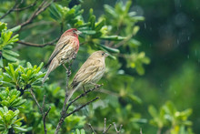 A Pair Of Mating House Finches...