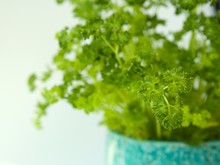 Closeup Of A Curly Parsley Plant In A Beautiful Turquoise Pot On A White Background Isolated.