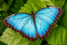 Blue Morpho Butterfly With Wings Open On Leaf, Chester Zoo, Cheshire, England
