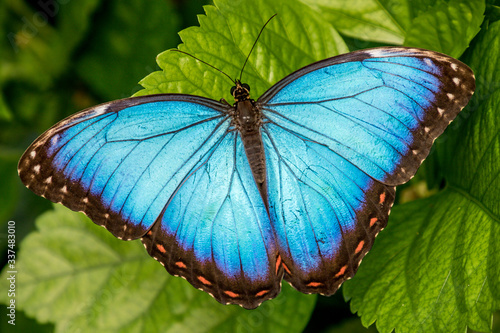 Fotografía Blue Morpho Butterfly with wings open on leaf, Chester Zoo, Cheshire, England
