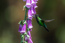 Fiery-throated Hummingbird Wit...