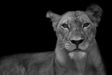 Close-up Portrait Of Lioness Against Black Background